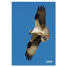 Osprey in Flight II