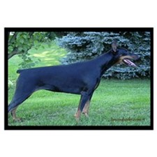 Doberman on Spruce