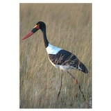 of Saddle-Billed Stork