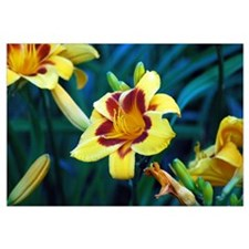 TWO-TONED YELLOW LILY 0122