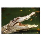 Alligator arge