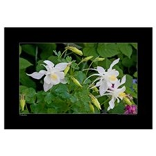 White Columbine blossoms