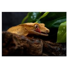 New Caledonian Crested Geckos