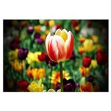 Countryside Tulips