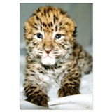 Amur Leopard cub