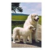 "Great Pyrenees Postcards (P.of 8)""Big Daddy"""