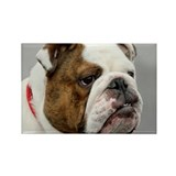 ENGLISH BULLDOG GRUMP Rectangle Magnet (10 pack)