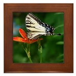 .swallowtail on candy lily. Framed Tile