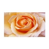 Creamy Orange Rose Wall Peel