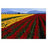 Washington, Mount Vernon, tulip field