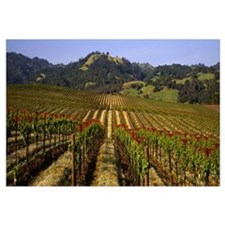 California, Geyserville, vineyard