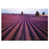 Lavender field Valensole Provence France