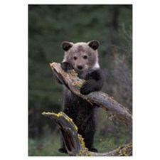 Young GrizzliyBear Hanging on a Tree