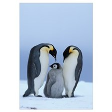 Royal Penguins and Baby