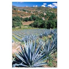 Tequila Agave Cultivation Mexico