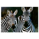 Zebras Africa