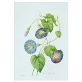 Morning Glory (colour engraving)