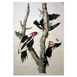 Ivory-billed Woodpecker, from 'Birds of America',