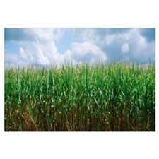 Illinois, Christian County, cornfield