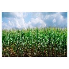Illinois, Christian County, cornfield