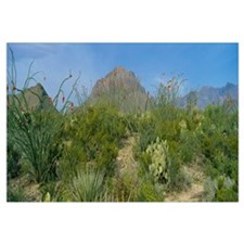 Ocotillo plants in a park, Big Bend National Park,