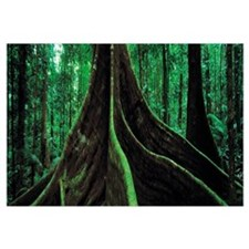 Roots of a giant tree, Daintree National Park, Que