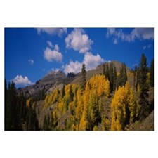 Aspen trees in mountains, Sonora Pass, Sierra Moun
