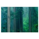 Trees in a forest, Redwood National Park, Californ