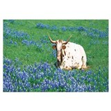 Texas Longhorn cow sitting on a field, Hill County