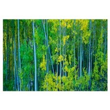 Aspen trees in a forest, Bishop, California