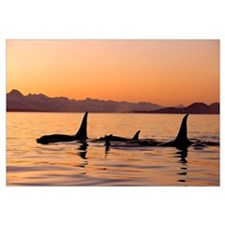 Orca Whales surface in Lynn Canal at Sunset with C