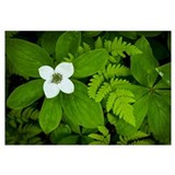 Close up of dwarf dogwood flower and ferns, Turnag