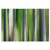 Abstract photo of Birch trees, Alaska summer