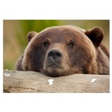 Grizzly bear rests its head on a log at the Alaska