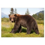 Adult Grizzly bear stands in profile and looks ove