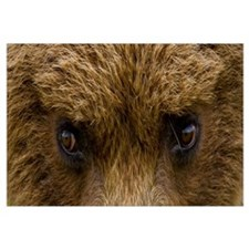Close up of Brown bears eyes in Hallo Bay Katmai N