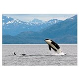 View of an Orca from the AT1 Transient Pod jumping