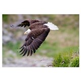 An female eagle flys protectively over her nest hi