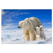 View of Polar Bear sow (Ursus Maritimus) with her