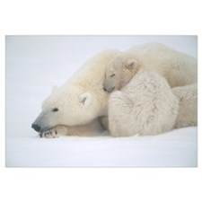 Mother Polar Bear and Cub Huddle in Snow Storm