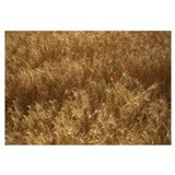 France, Montrichard Valley, wheat