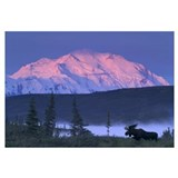 Bull Moose grazing in early morning near Wonder La