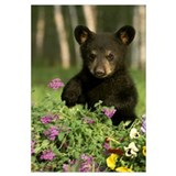 Captive Black Bear Cub Playing In Flowers Minnesot