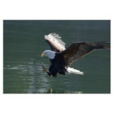 Close up of a Bald Eagle catching a fish out of th