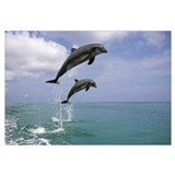 Pair of Bottle Nose Dolphins Jumping Roatan Hondur