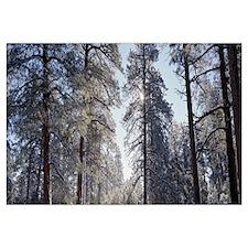 Winter sunlight through pine trees Grandview Pt Gr