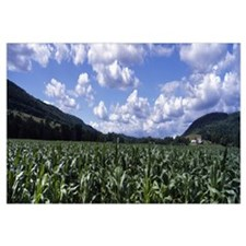 Corn field Otsego Co NY