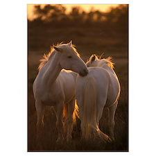 Horses of Camargue