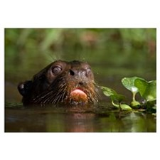 Close up of a Giant otter Pteronura brasiliensis