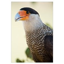 Close up of a Crested caracara Polyborus plancus T